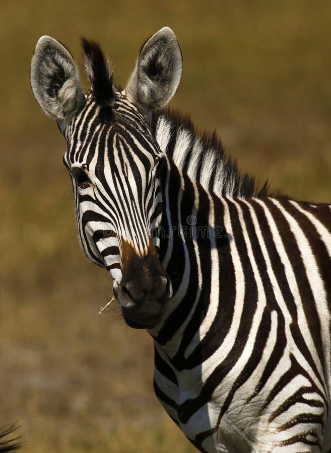 La cebra de Burchell hermoso en los llanos africanos foto de archivo libre de regalías