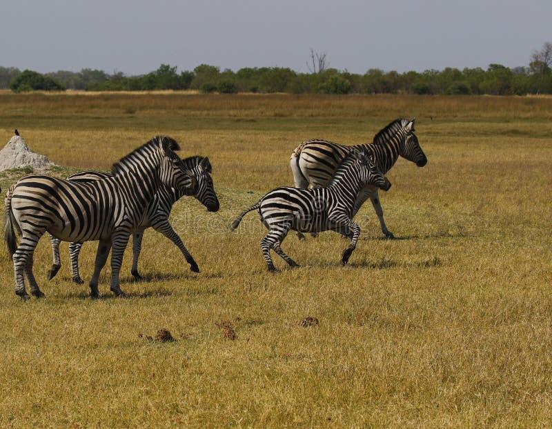 La cebra de Burchell hermoso en los llanos africanos imagenes de archivo