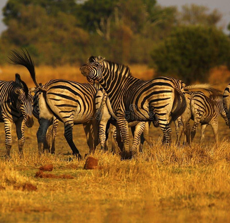 La cebra de Burchell hermoso en los llanos africanos imagen de archivo libre de regalías