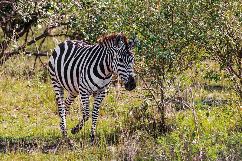 La cebra en el arbusto Masai Mara de la sabana Kenia, África foto de archivo