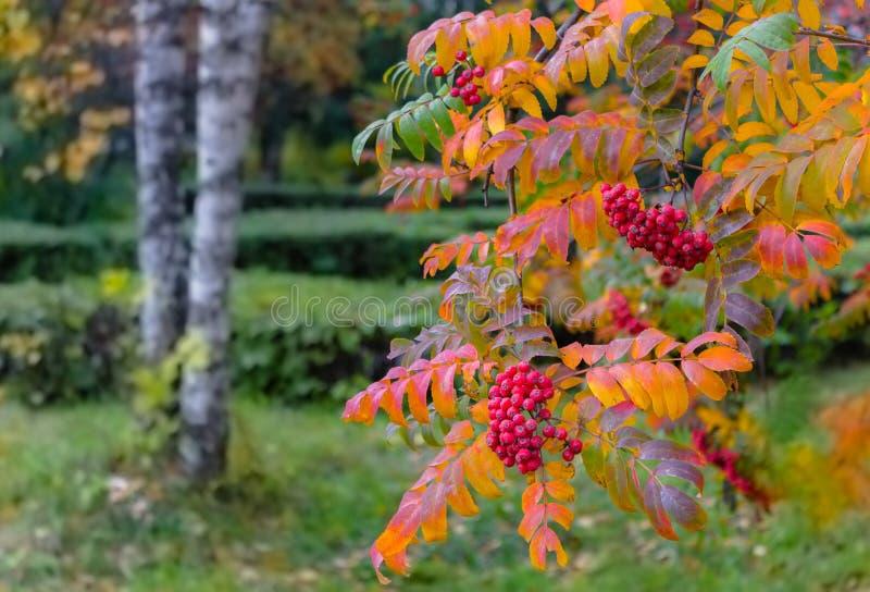 La cenere di montagna rossa con giallo lascia nell'autunno nel parco della città immagine stock
