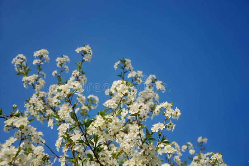 La cereza amarga (cerasus del Prunus) florece en un cielo azul claro imagen de archivo