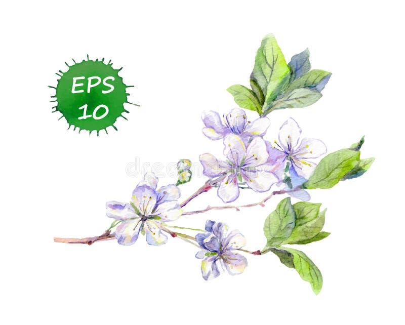 La cereza blanca floreciente florece a los japoneses Sakura watercolour ilustración del vector