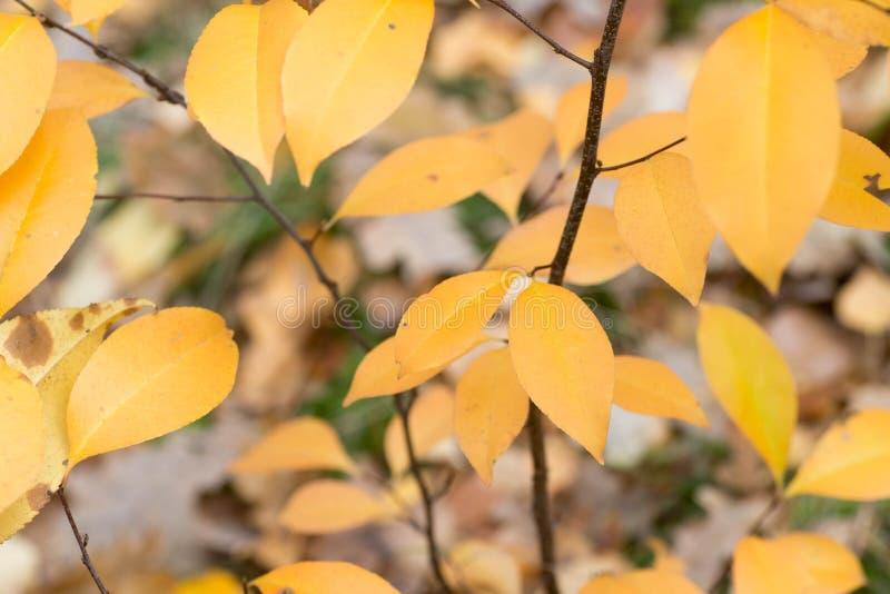 La cereza de pájaro amarilla del otoño se va macro fotos de archivo
