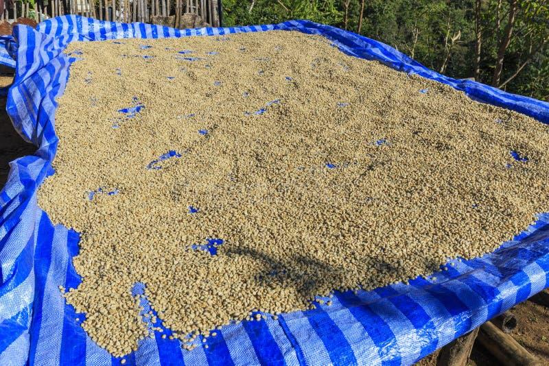 La cereza del café tiene la fruta quitada dejando la haba que entonces se seca fotografía de archivo