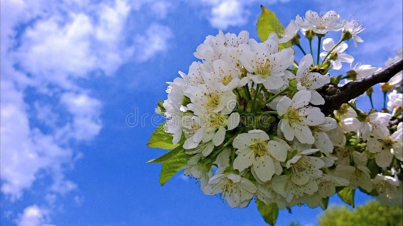 La cereza dulce comenzó a florecer fotos de archivo