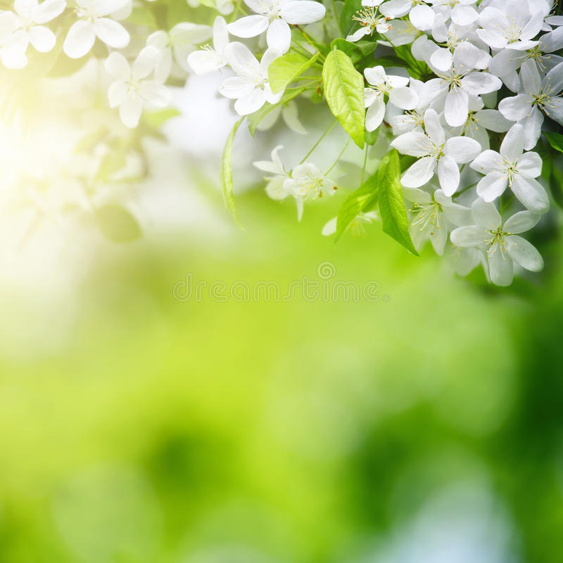 La cereza florece en luz del sol en fondo verde imagen de archivo
