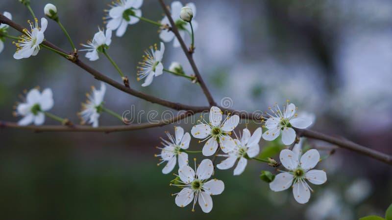 La cereza floreciente imagen de archivo libre de regalías