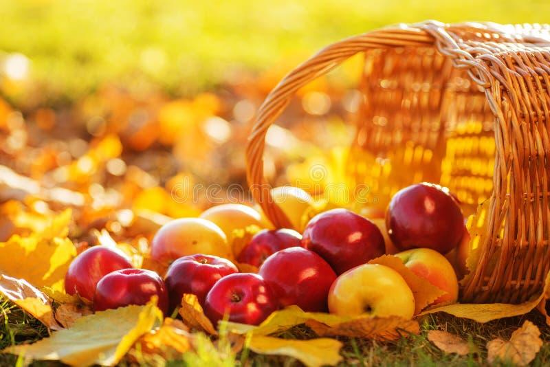 La cesta llena de manzanas orgánicas jugosas rojas con amarillo se va en el au imagen de archivo