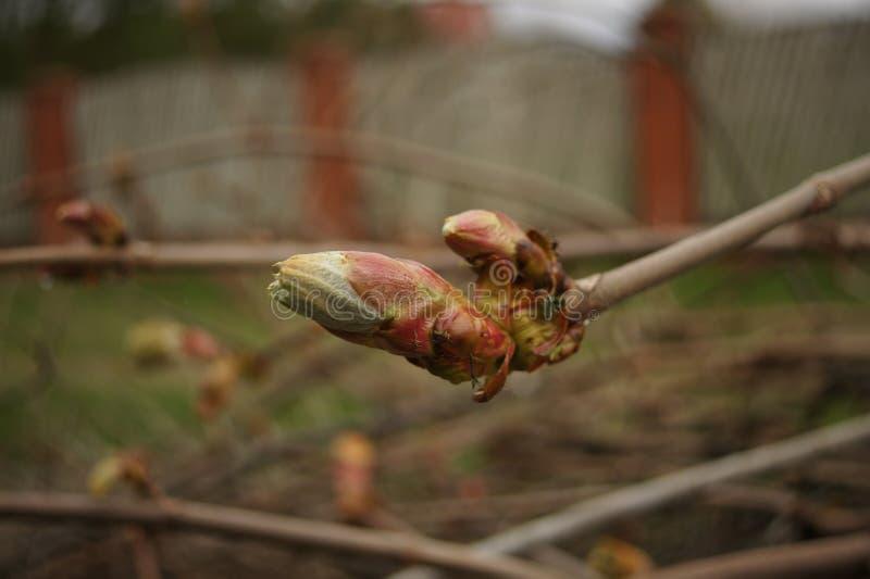 La châtaigne est dissoute Les feuilles de châtaigne se développent sur une branche Arbres au printemps Fond de Brown photo libre de droits