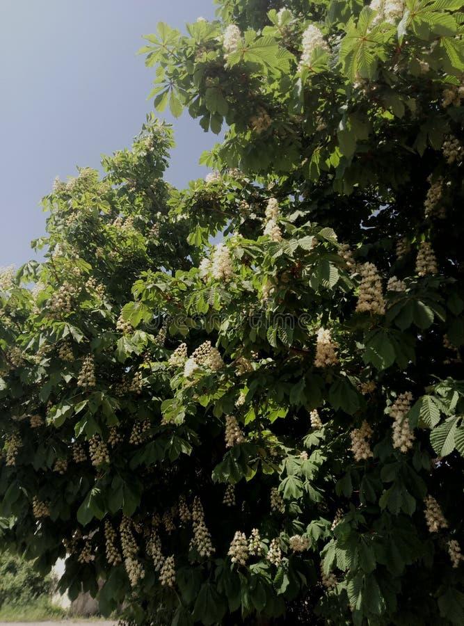 La châtaigne a fleuri photo stock