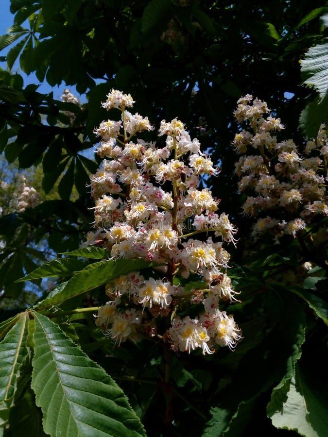 La châtaigne fleurissante de deux branches parmi le vert laisse le plan rapproché photo stock