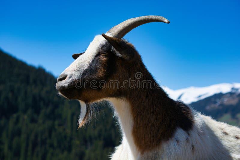 La chèvre alpine, se ferment vers le haut de l'image Elle a perdu un de ses klaxons mais charme toujours image libre de droits