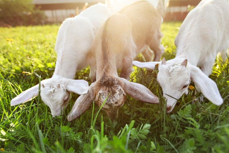 La chèvre badine frôlant, photo grande-angulaire avec la lumière arrière du soleil image stock