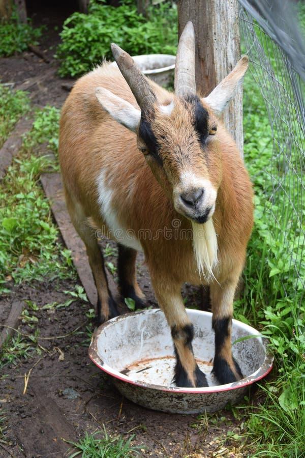 La chèvre brune mignonne se tient patiemment dans sa cuvette de alimentation images libres de droits