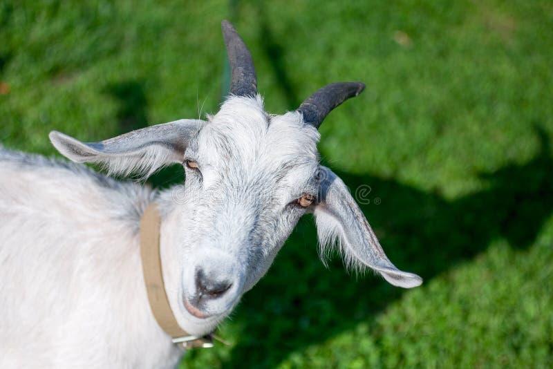 La chèvre d'isolement ferme ses yeux en raison du soleil photographie stock