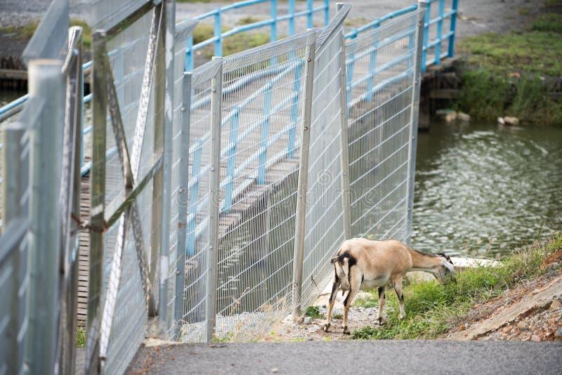 La chèvre dans le domaine images libres de droits
