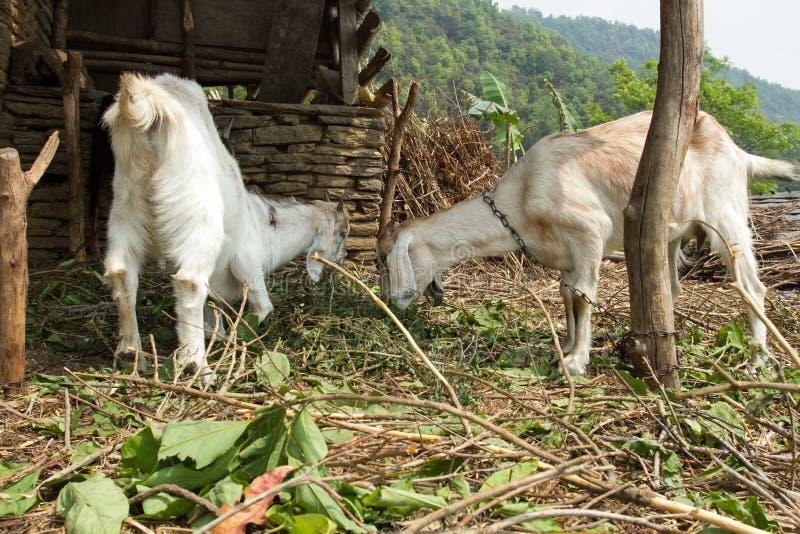 La chèvre de deux jeunes dans le stylo mangent le foin frais image libre de droits