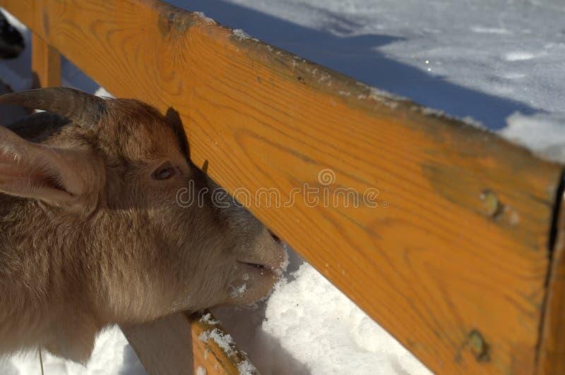La chèvre mange la neige photographie stock libre de droits