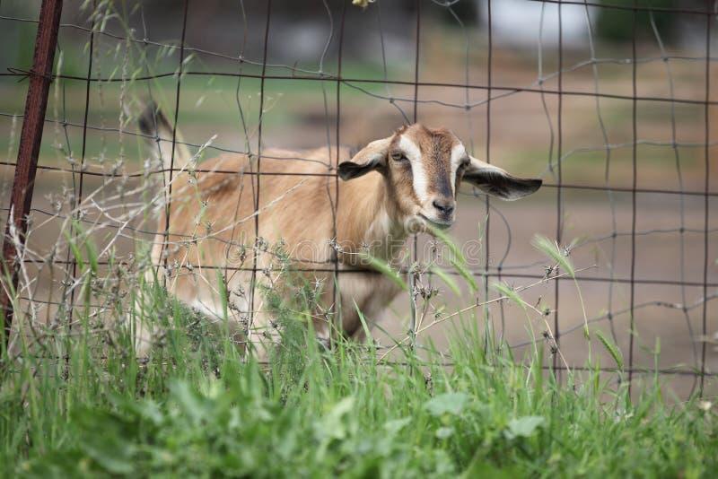 La chèvre mignonne recherche la nourriture photographie stock