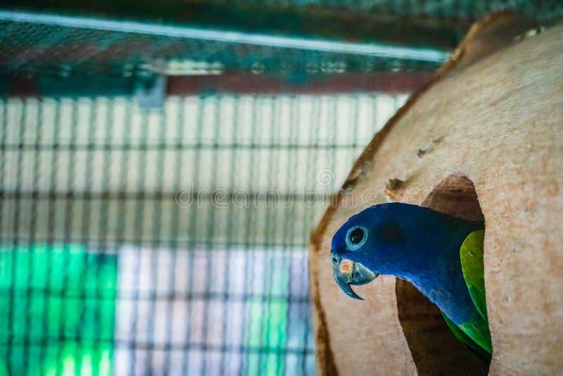 La ch?taigne a affront? le macaw photographie stock libre de droits