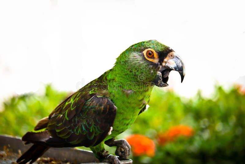 La ch?taigne a affront? le macaw image stock