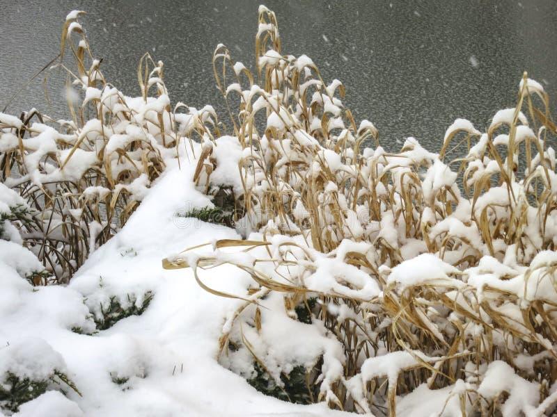 La charca congelada En la orilla delante de él arbustos amarillos secos de la hierba y de enebro debajo de la nieve fotos de archivo libres de regalías