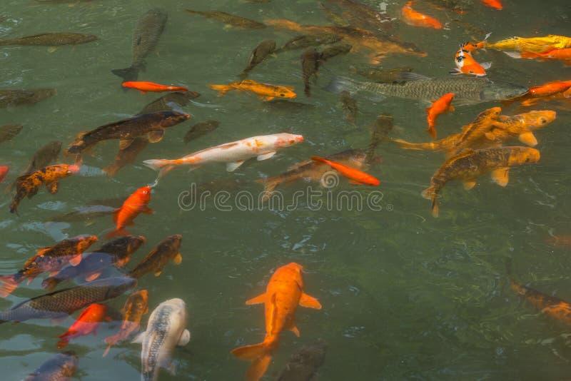 La charca del pez de colores fotografía de archivo libre de regalías