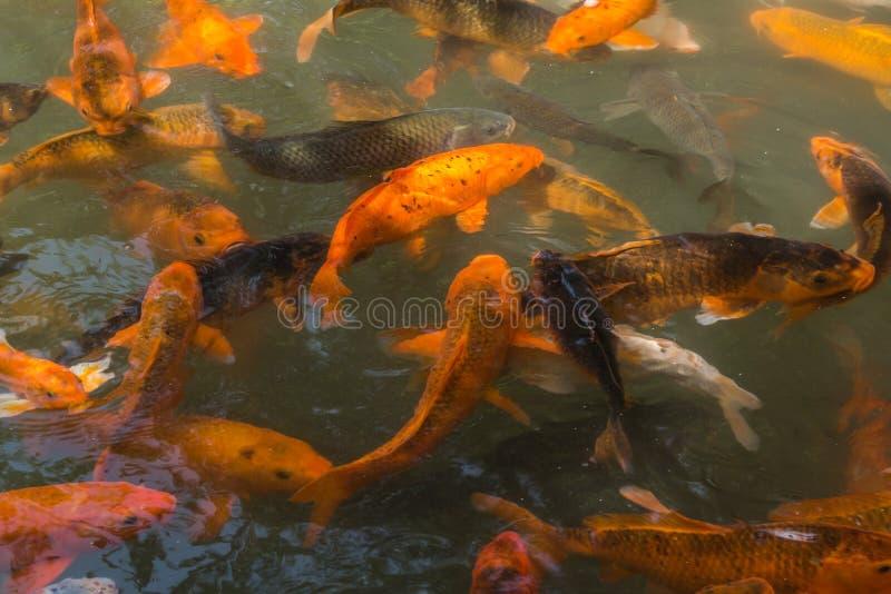 La charca del pez de colores imágenes de archivo libres de regalías