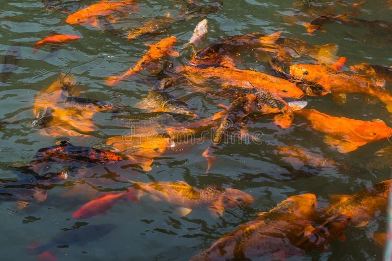 La charca del pez de colores fotos de archivo libres de regalías