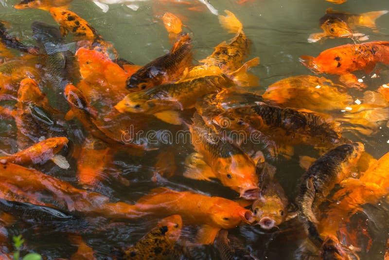 La charca del pez de colores imagenes de archivo