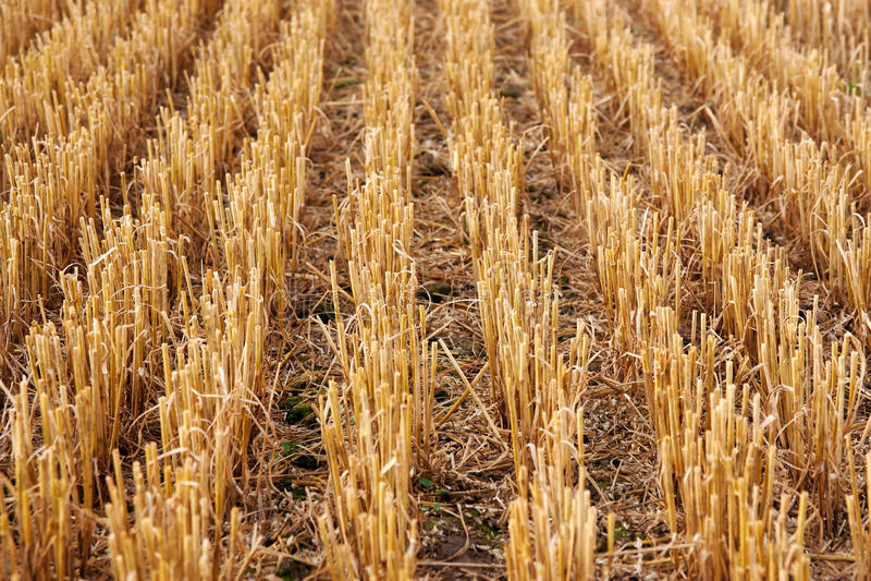 La chaume a moissonné le champ de blé photo libre de droits