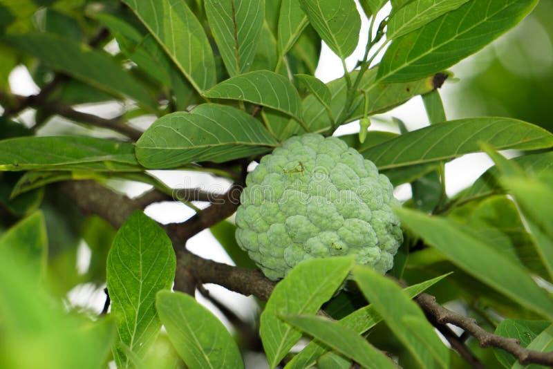 La cherimolia, o la mela cannella, è la frutta dell'annona squamosa, delle specie il più ampiamente sviluppate di annona e di un  fotografia stock