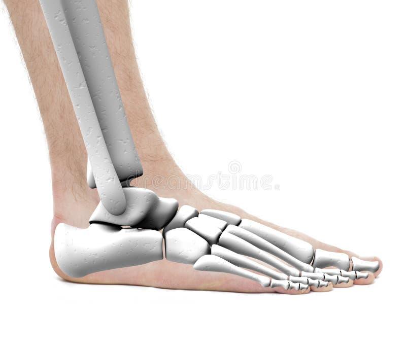 La cheville de pied désosse - mâle d'anatomie - la photo de studio d'isolement sur le blanc photographie stock