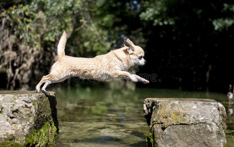 La chihuahua che salta in natura fotografia stock