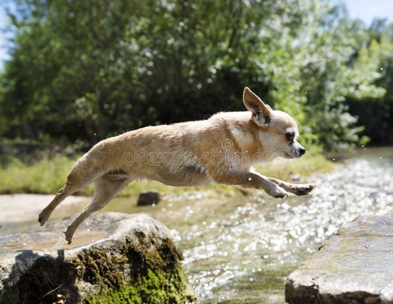 La chihuahua che salta in natura immagine stock libera da diritti