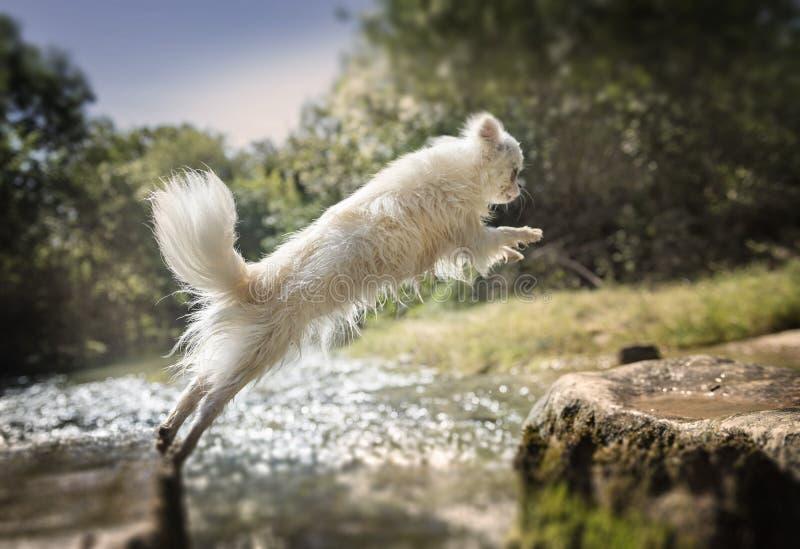 La chihuahua che salta in natura immagini stock