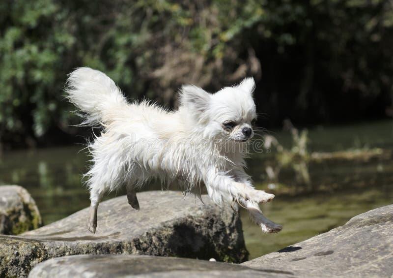 La chihuahua che salta in natura fotografie stock libere da diritti