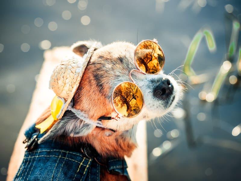 La chihuahua que lleva las gafas de sol y los guardapolvos del dril de algodón goza del sol El pequeño perrito lindo toma los bañ fotografía de archivo