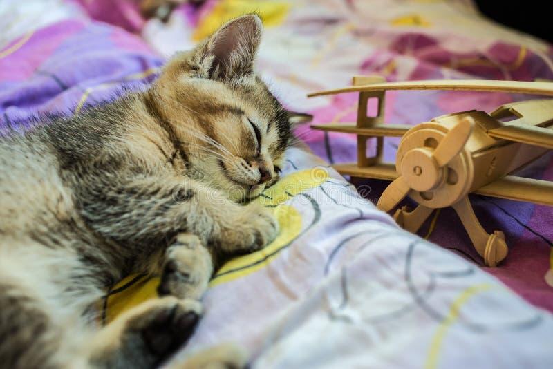 La chinchilla de oro británica del pequeño gatito bonito hizo tictac cansado de jugar fotografía de archivo libre de regalías