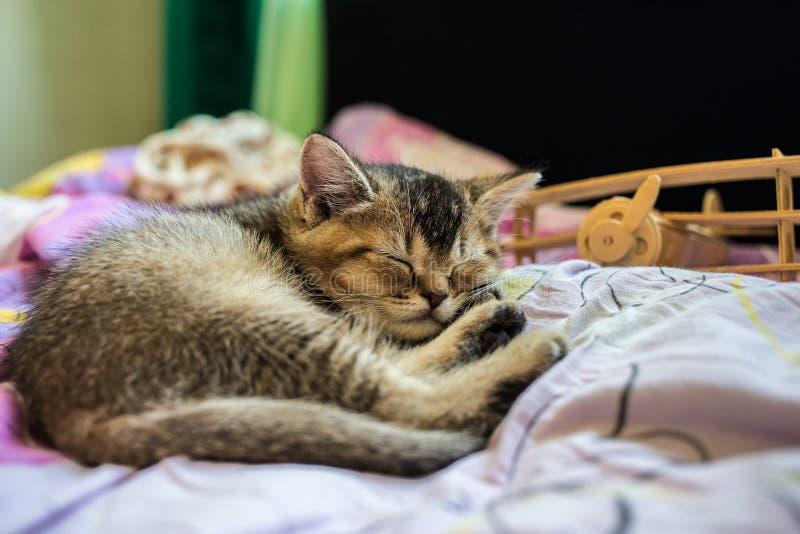 La chinchilla de oro británica del pequeño gatito bonito hizo tictac cansado de jugar imagen de archivo libre de regalías