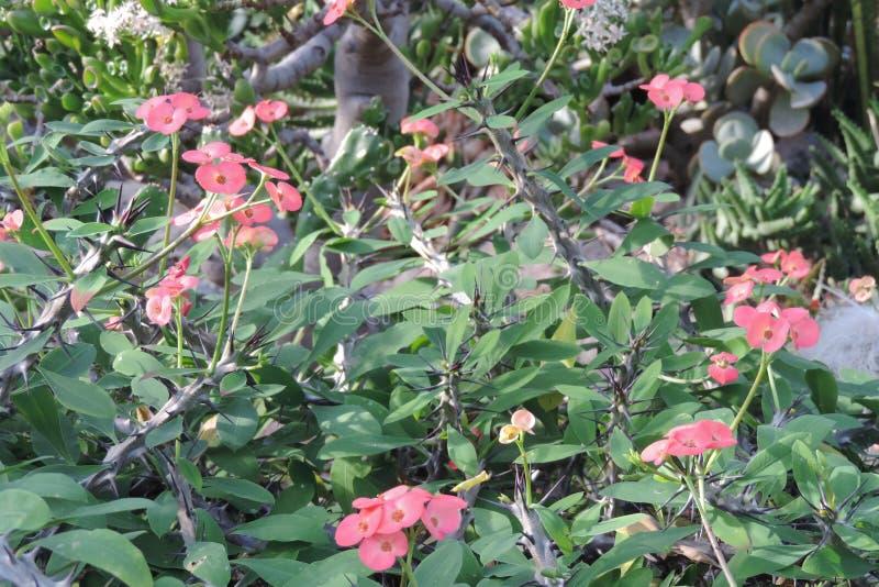 La chiusura di Pink Euphoria Milii o Corona di fiore di Thorns immagine stock