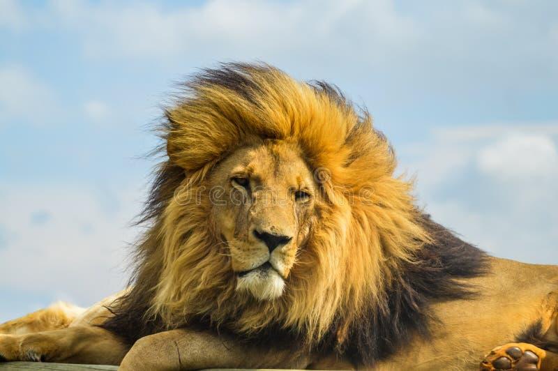 La chiusura di un maestoso leone marrone durante un Safari sudafricano immagini stock libere da diritti