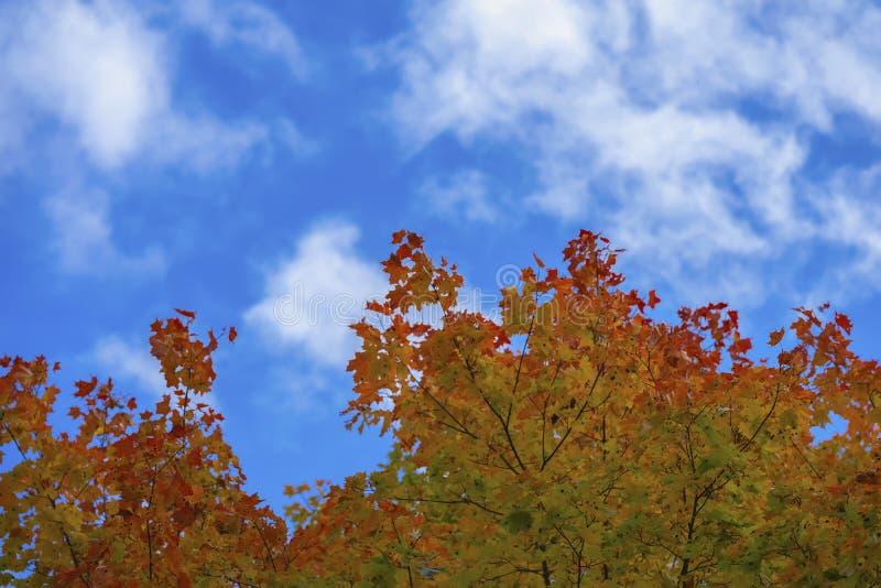 La chute, arbre d'érable avec l'orange lumineuse colorée part contre le ciel nuageux bleu, fond naturel d'automne, l'espace de co image stock