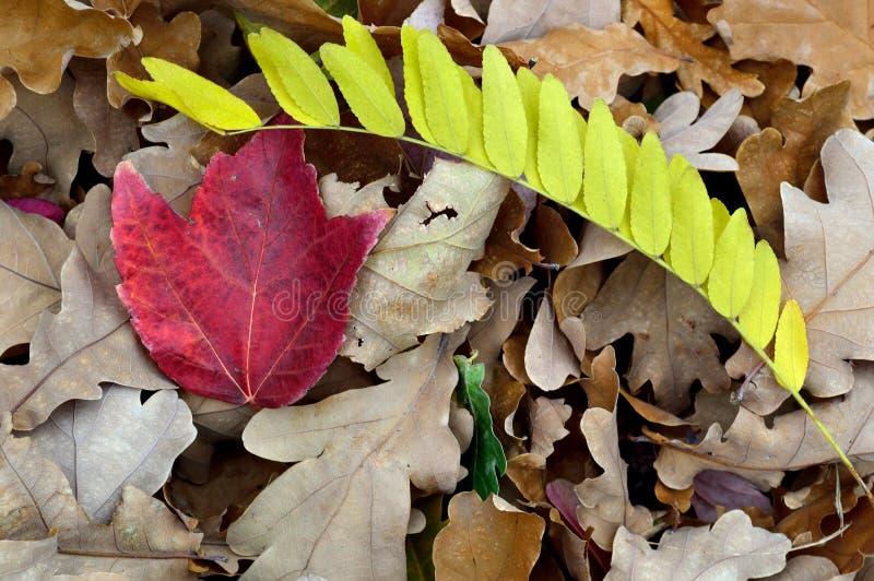 La chute laisse au chêne blanc la sauterelle d'érable rouge images libres de droits