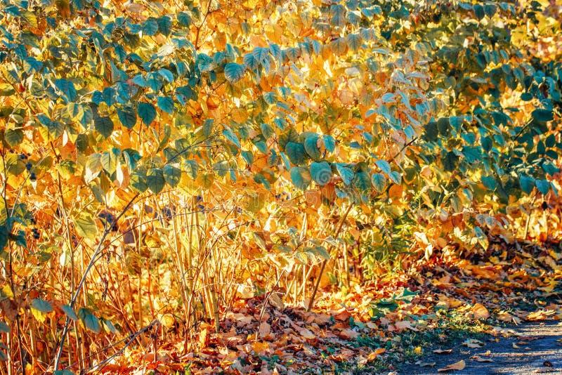 La chute rouge jaune colorée d'automne part sur des branches d'arbre, buissons, automne, papier peint de carte, fond texturisé image libre de droits