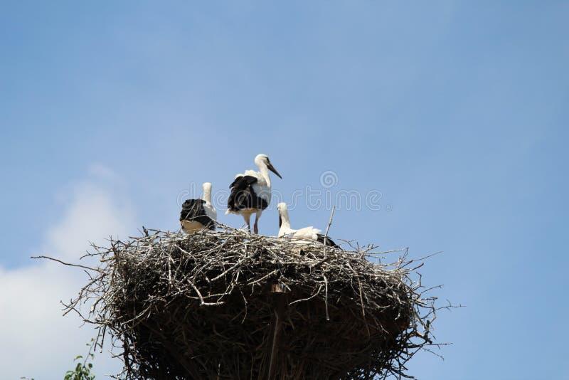 La cicogna è un uccello enorme: Le ali hanno una portata gigante fotografia stock libera da diritti