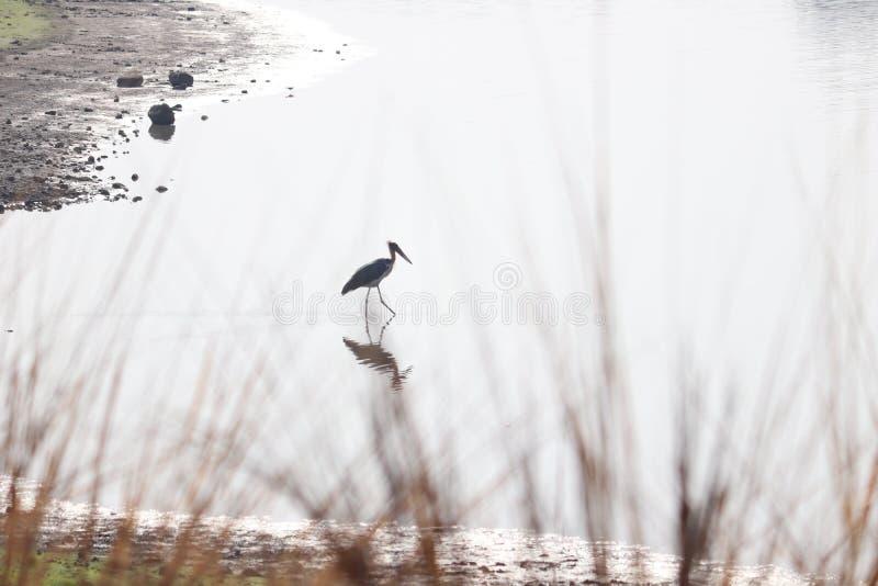 La cicogna bianca fotografie stock