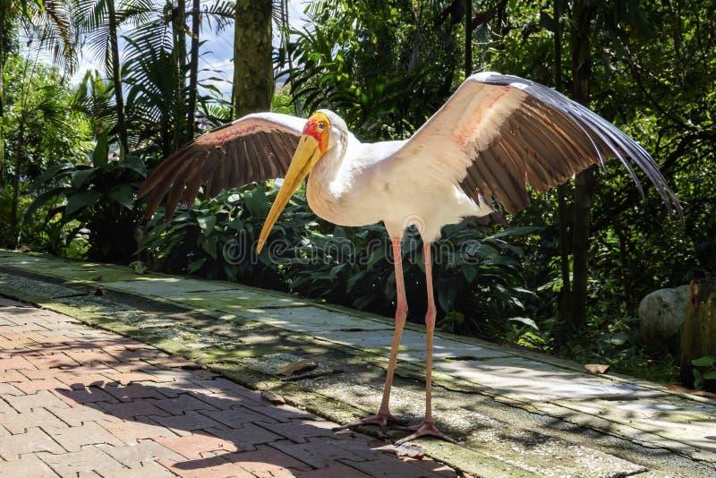 La cicogna dal becco giallo ha sparso le sue ali e pose per un tiro di foto nel parco dell'uccello immagine stock