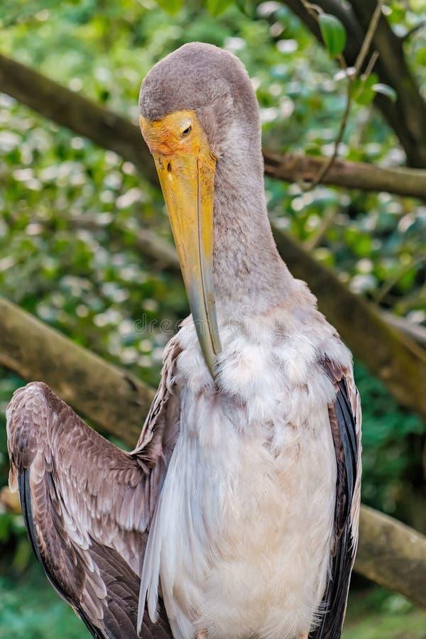 La cicogna dal becco giallo pulisce le piume fotografia stock libera da diritti